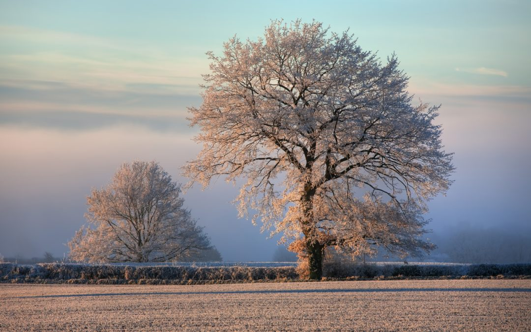 Trees with frost